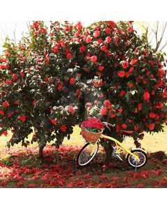Bike Under Flower Tree Computer Printed Photography Backdrop HY-CM-4357