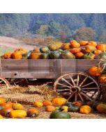 Fresh Pumpkins Computer Printed Photography Backdrop LMG-095
